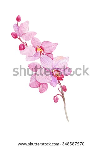 Watercolor  pink orchid flower on white background