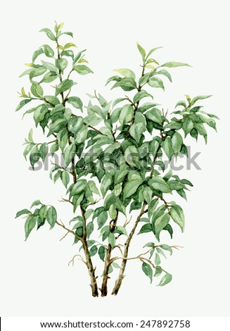 Watercolor pot plant  ficus isolated on white. - stock photo