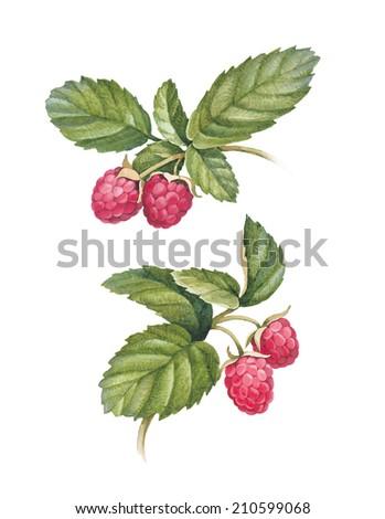 Watercolor raspberry illustration - stock photo