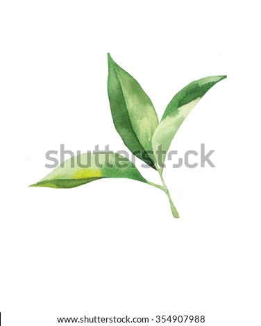 watercolor tea leaves on white background - stock photo
