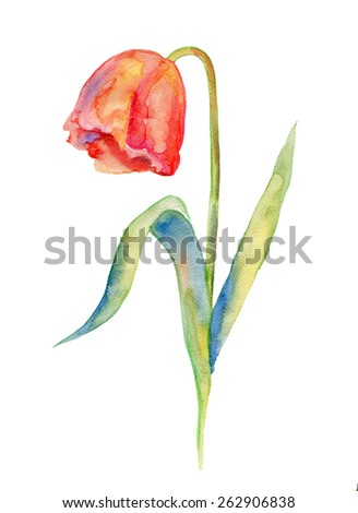 Watercolor tulip on a white background - stock photo