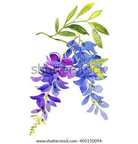 Watercolor wisteria. - stock photo