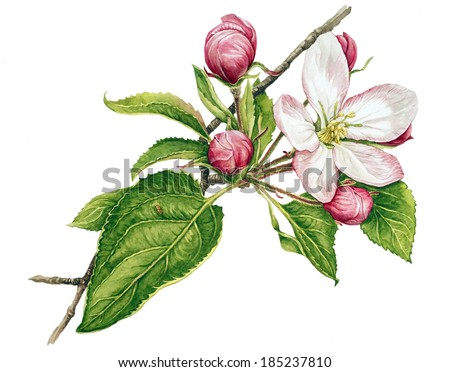 Watercolor with apple tree in blossom - stock photo