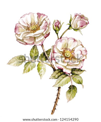 Watercolor with branch of roses flower - stock photo