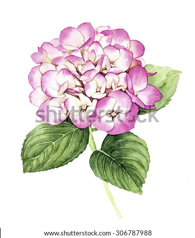 Watercolor with pink Hydrangea flower  - stock photo