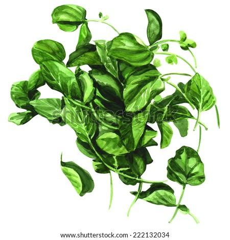 Watercress, Nasturtium officinale white background - stock photo