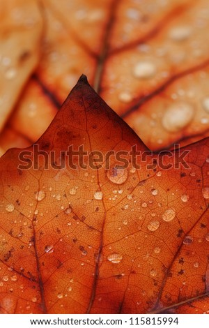 waterdrops on a brown leaf in autumn. - stock photo