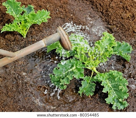 Watering a young organic kale plant in the vegetable garden with an old copper watering can