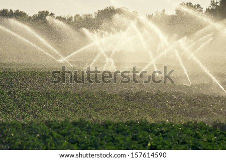 Watering cabbage field by sunset