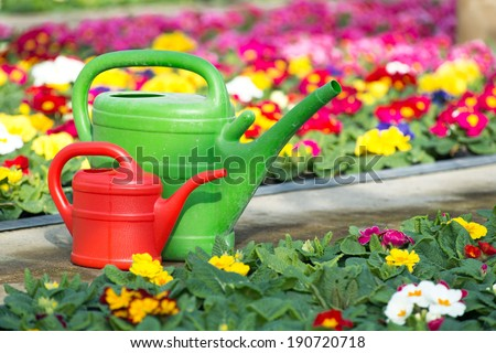Watering cans between primroses