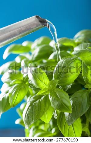 watering fresh basil leaves herb - stock photo