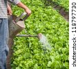 watering in the lettuce garden - stock photo