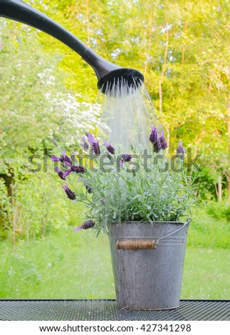 watering lavender plant in metal pot, person using a watering can to water a pot of lavender in a summer garden. - stock photo
