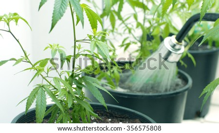 Watering Potted Marijuana Plants With a Hose - stock photo