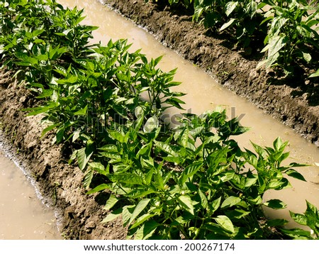 watering sweet peppers bed by irrigation ditch in arid zone - stock photo