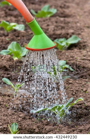 watering the cabbage in the vegetable garden