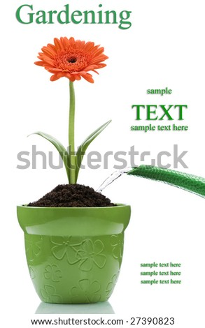 watering the orange flower in the pot on white - stock photo