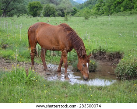 Watering Young Horse On Green Meadow