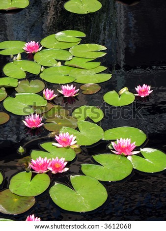 Waterlilies - stock photo