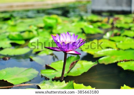 Waterlily and leaves floating in a pond