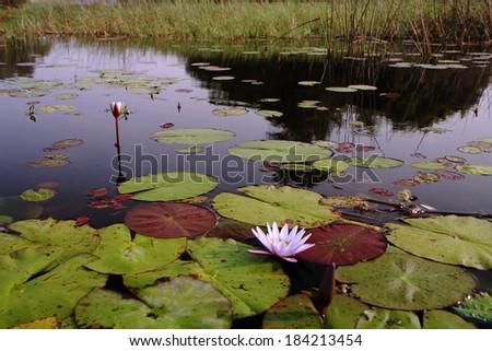 Waterlily aquatic flower (nymphaea alba) in Okavango Delta, Botswana - stock photo