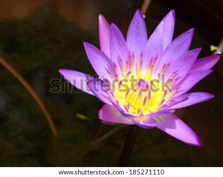 Waterlily in purple  - stock photo