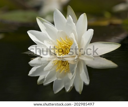 Waterlily is reflected in the still, quiet waters