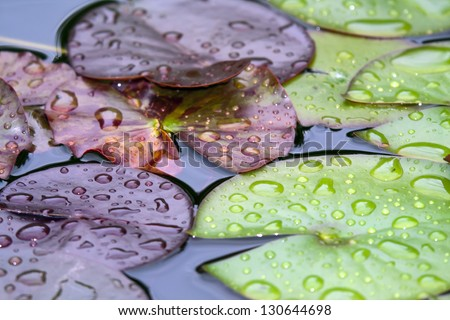 Waterlily leaves in the pond with raindrops. - stock photo