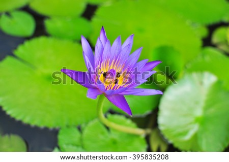 Waterlily with floating leaf in pond  - stock photo