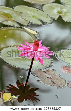 Waterlily with leaves on pond .background