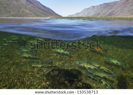 Waterline image of arctic chars (Salvelinus alpimus) in clear water river, Greenland