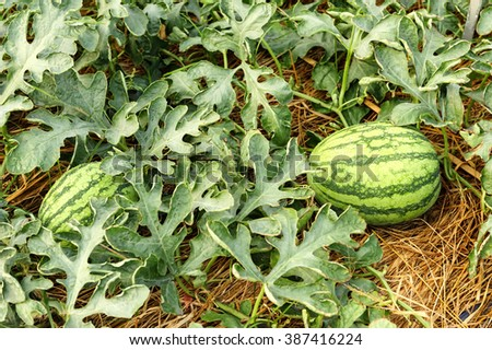 Watermelon cultivation Thailand style. - stock photo