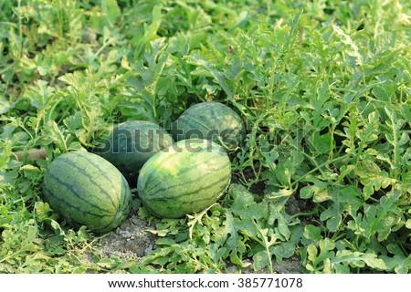 Watermelon in vegetable garden for harvest. - stock photo