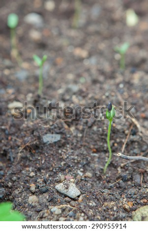 watermelon seedling emerging from rough soil in Thailand - stock photo