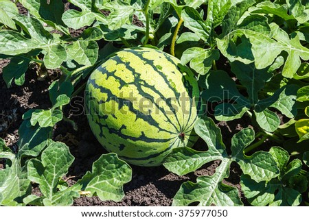 Watermelons on the green melon field in the summer - stock photo
