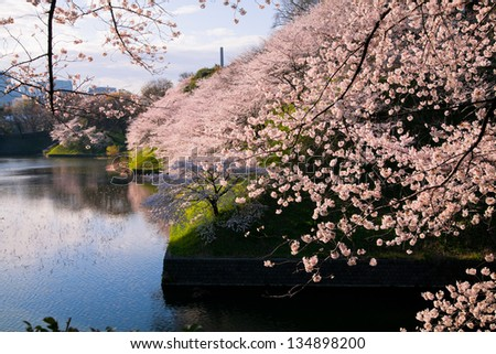 waterside cherry blossoms in the springtime 61 - stock photo