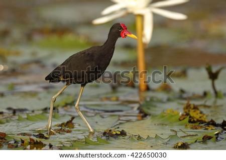 Wattled Jacana (Jacana jacana hypomelaena) using its long toes to walk on a water lily - Panama - stock photo