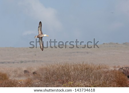 Waved Albatross Flying Close to Ground - stock photo