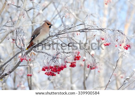 Waxwing bird sitting on a branch of rowan in frost - stock photo