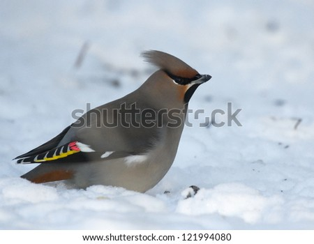 Waxwing on snow - stock photo