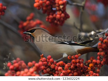 Waxwing on the branch of mountain ash - stock photo