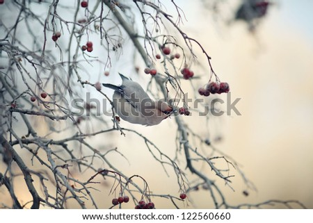 waxwing on winter branch - stock photo