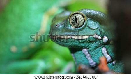 Waxy monkey leaf frog Phyllomedusa sauvagii - stock photo
