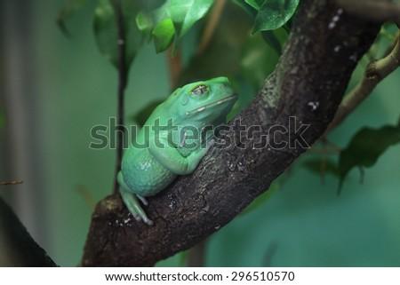 Waxy monkey tree frog (Phyllomedusa sauvagii). Wild life animal.  - stock photo