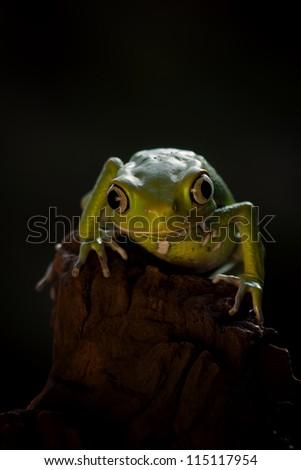 Waxy Monky frog says hello - stock photo