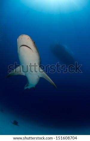 Way too Many Bull Shark in the Bahamas - stock photo