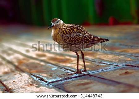 Weakened ruff Philomachus pugnax flight over sea and sat on deck of ship. Greedily ate offered sailors earth worm.