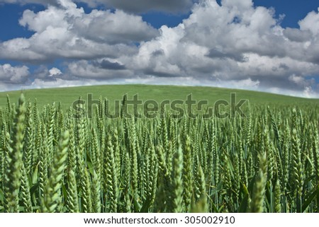 weath cereal field in denmark in the summer - stock photo