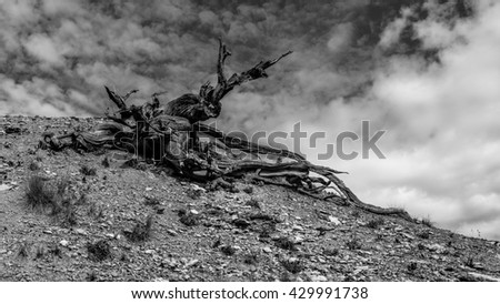 Weathered tree perched atop a canyon in Bryce National Park.  - stock photo