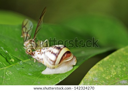weaver ant queen is staying on the shell of a land snail